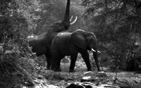 wilkinson zambezi elephants 1 News, Lectures & Screenings
