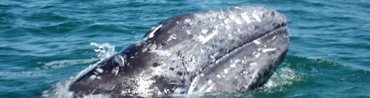 Gray Whale Deaths