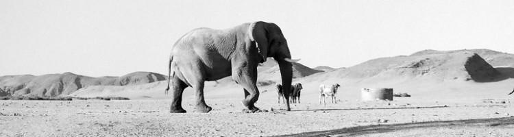 ©Namibia Desert Elephant - Cyril Christo/Wilkinson