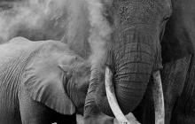 c-baby-elephant