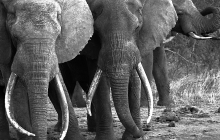 l-elephant-tusk2
