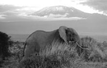 a-kilimanjaro-bull