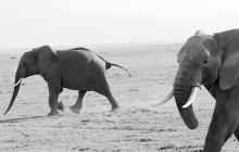 q-Two Elephants
