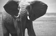 elephant-bull1