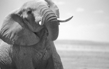 elephant-profile2