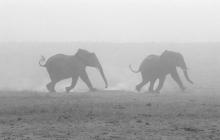r-elephants-dusty