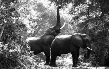 g-zambezi-elephants