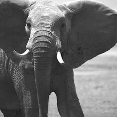 AFRICA – Elephants