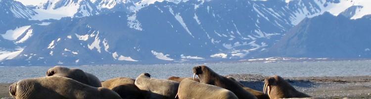 Arctic Walrus, Svalbard Norway © Wilkinson & Christo