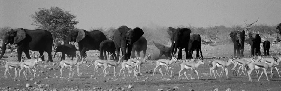 elephant_gazelle_etosha