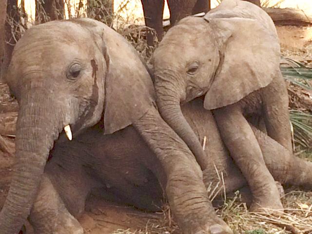 Christo & Wilkinson Baby Elephants