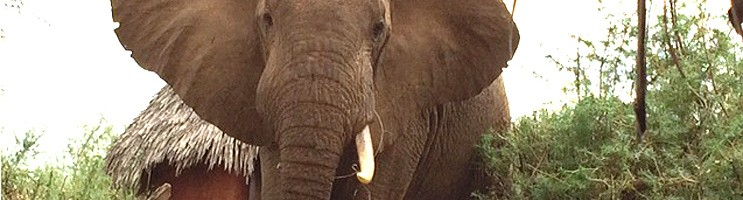 Pembe Moja One Tusk elephant