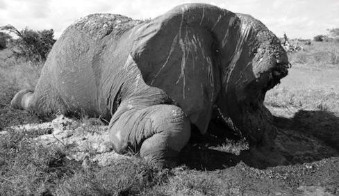 Satao the World's largest elephant killed by poachers