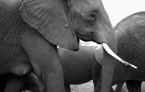 Cyril Christo Endangered Elephants CITES