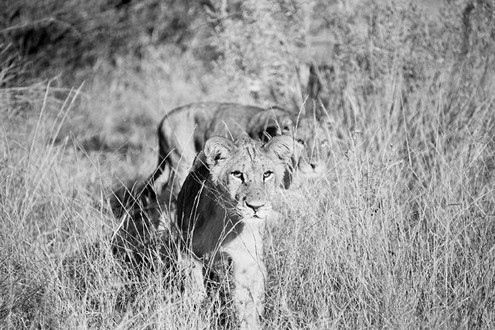©Lysander Christo - Lions 2017
