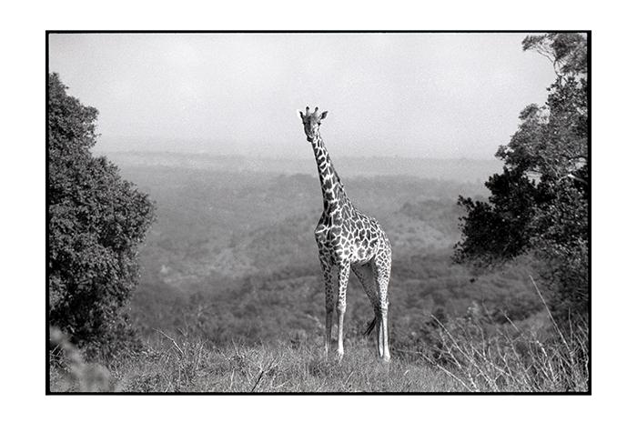 ©Lysander Christo - Giraffe 2017