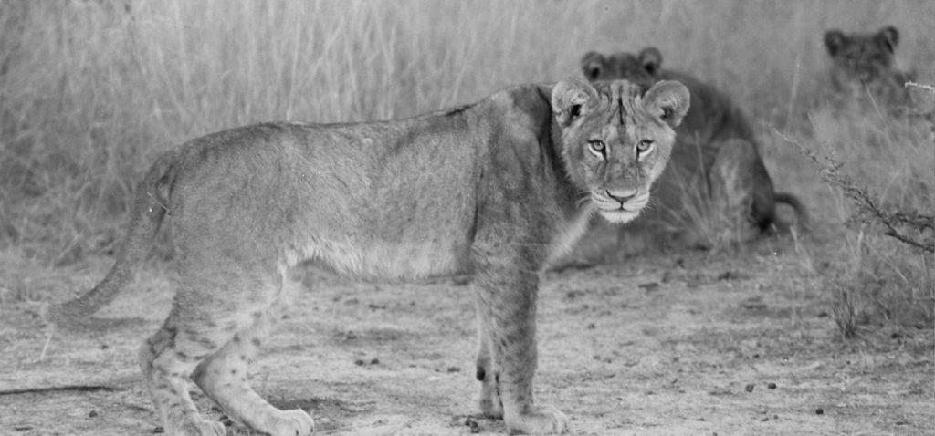 Lion - ©Lysander Christo