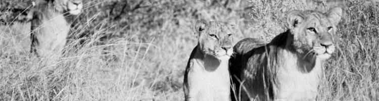 Lions ©Lysander Christo