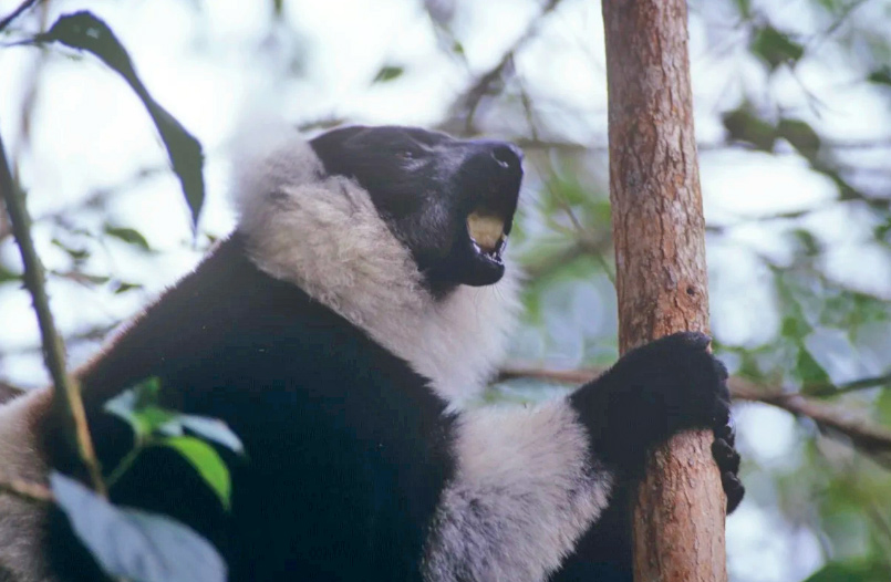 Saving the ghosts of Madagascar, the Lemurs