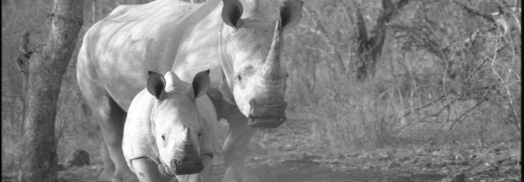Can the last wild rhinos be saved from extinction? by Cyril Christo