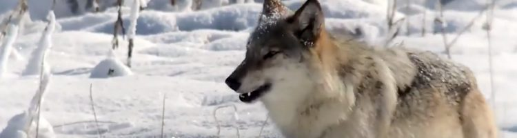 Never decry wolf: they deserve our protection, not 'management' - Cyril Christo Conservation Blog