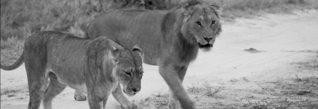 South Africa's plan to ban farmed lions for hunting should be hailed